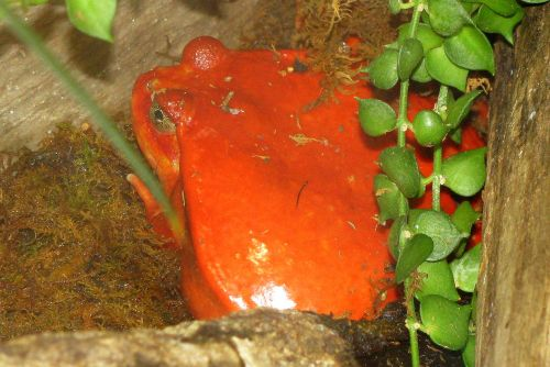 tomato-frog
