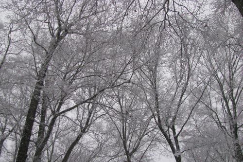 trees-with-snow1