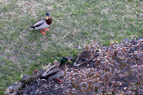 easter-ducks