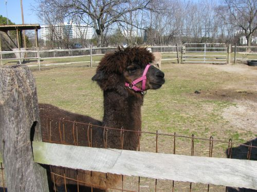 fable-the-guard-alpaca