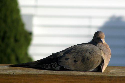 morning-dove