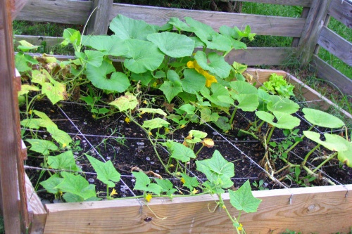 cucumbers and pumpkins